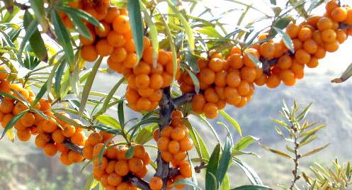 オレンジ色の果実が実ってます。これだけみるとあの酸っぱさはそうぞうできません。
