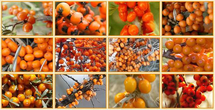 色も形も違うサジー果実。小さくて色の濃いビコアサジーがいちばんすごい!